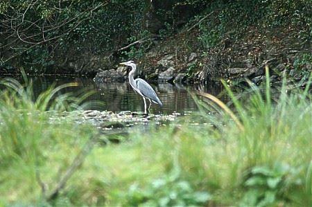 Héron Cendré sur le Canal