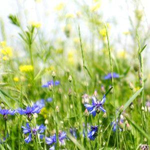 assortiment fleurs herbes folles 1